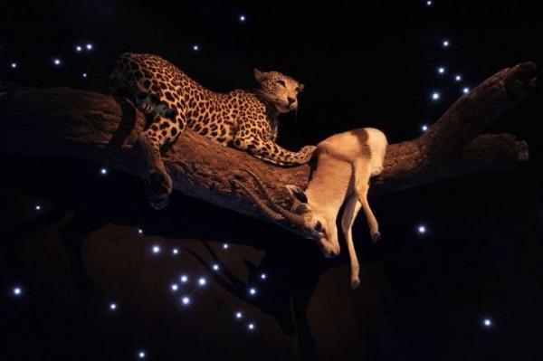 afrikan_yo_leopardi_thompsoningaselli_mtur_maailman_luonto_0-600x399